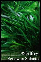 Cryptocoryne_willisii_lucen
