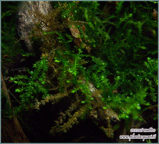 Weeping_Moss_Vesicularia_fe