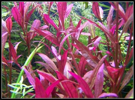Картинки по запросу Alternanthera red round в аквариуме